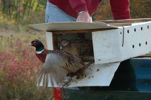У Которварошком ловишту пуштени млади фазани